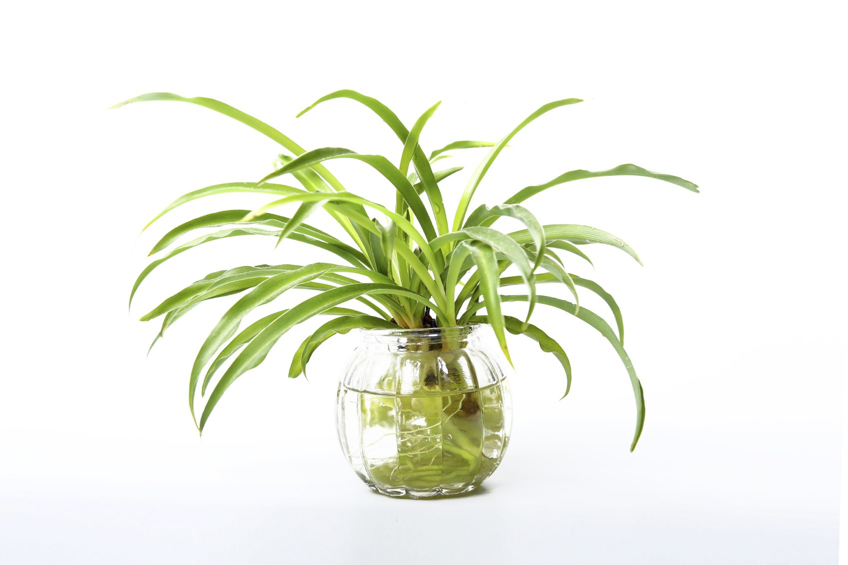 Growing A Spider Plant In Water Leaving Rooted Spider Plants In Water