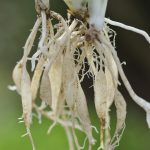 spider plant root