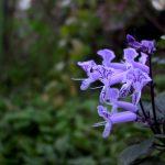 spur flower