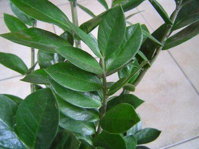 Zz Plant Care Houseplant