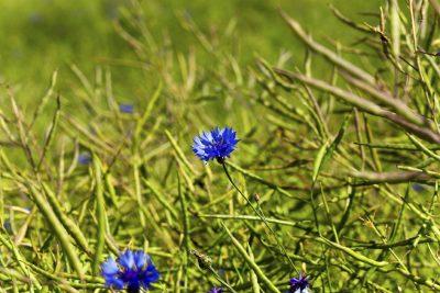 blue flowers  cornflower  growing on the field on which grow oilseed rape