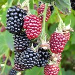 close up blackberries growing in a garden