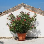 A potted oleander plant in the central Istrian hill town of Pican, Croatia. Nerium Oleander, an evergreen shrub or small tree from the Dogbane family Apocynaceae, is entirely toxic.