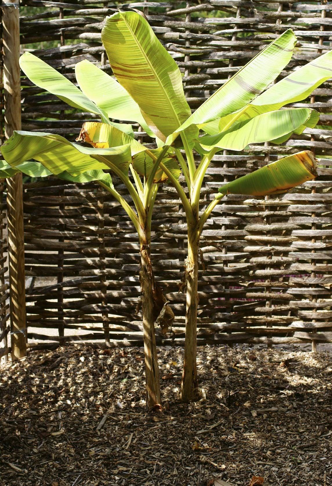 Splitting A Banana Plant - Separating Banana Plants For Propagation