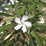 tips on winterizing oleander plants learn about the care. Black Bedroom Furniture Sets. Home Design Ideas