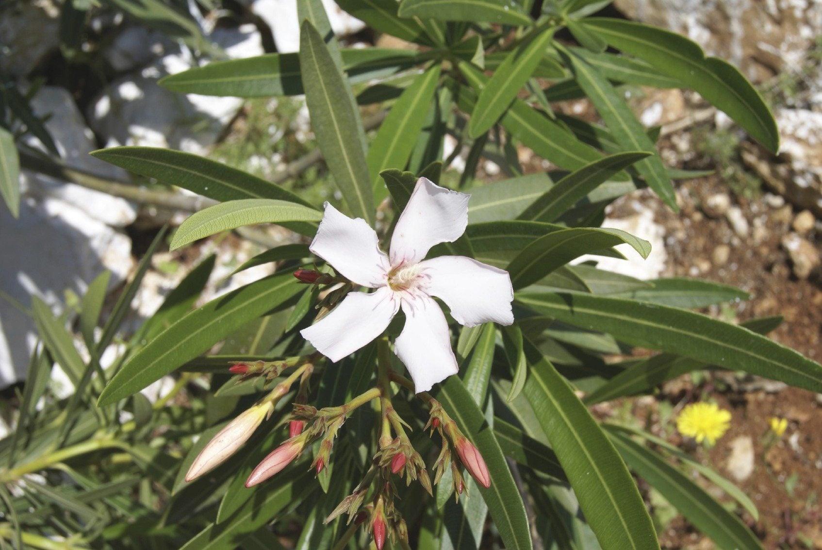 Killing mature oleander