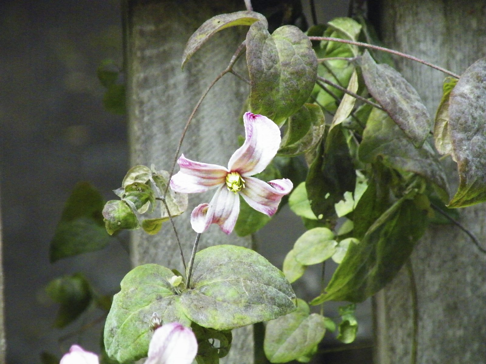 Guide To Clematis Transplanting: Tips On Replanting A ...