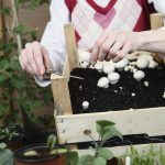 A gardener harvests button mushrooms, surrounded by young plants.