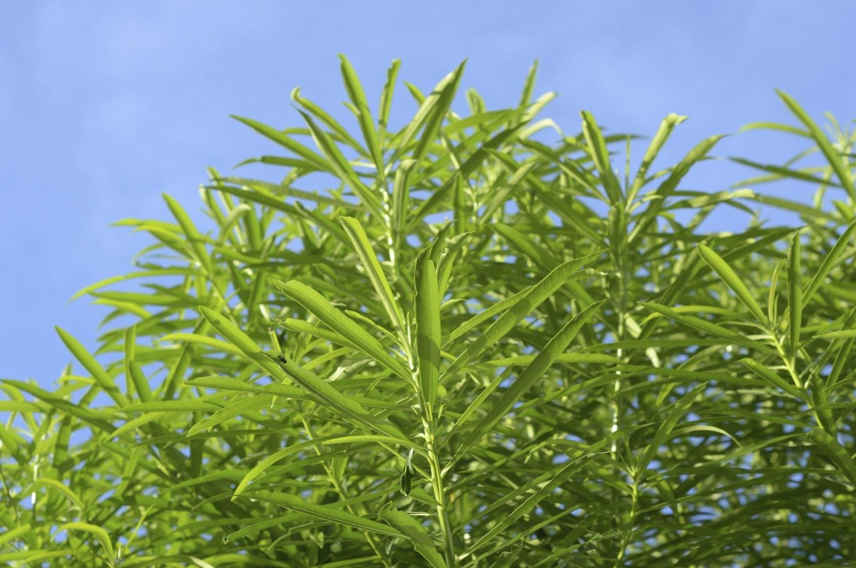 Reasons for oleander not blooming how to get oleander flowers - Blooming shrubs ...