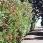 oleander hedge