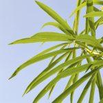 oleander leaf drop
