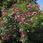 Shrub of pink oleander in blossom with flowers.