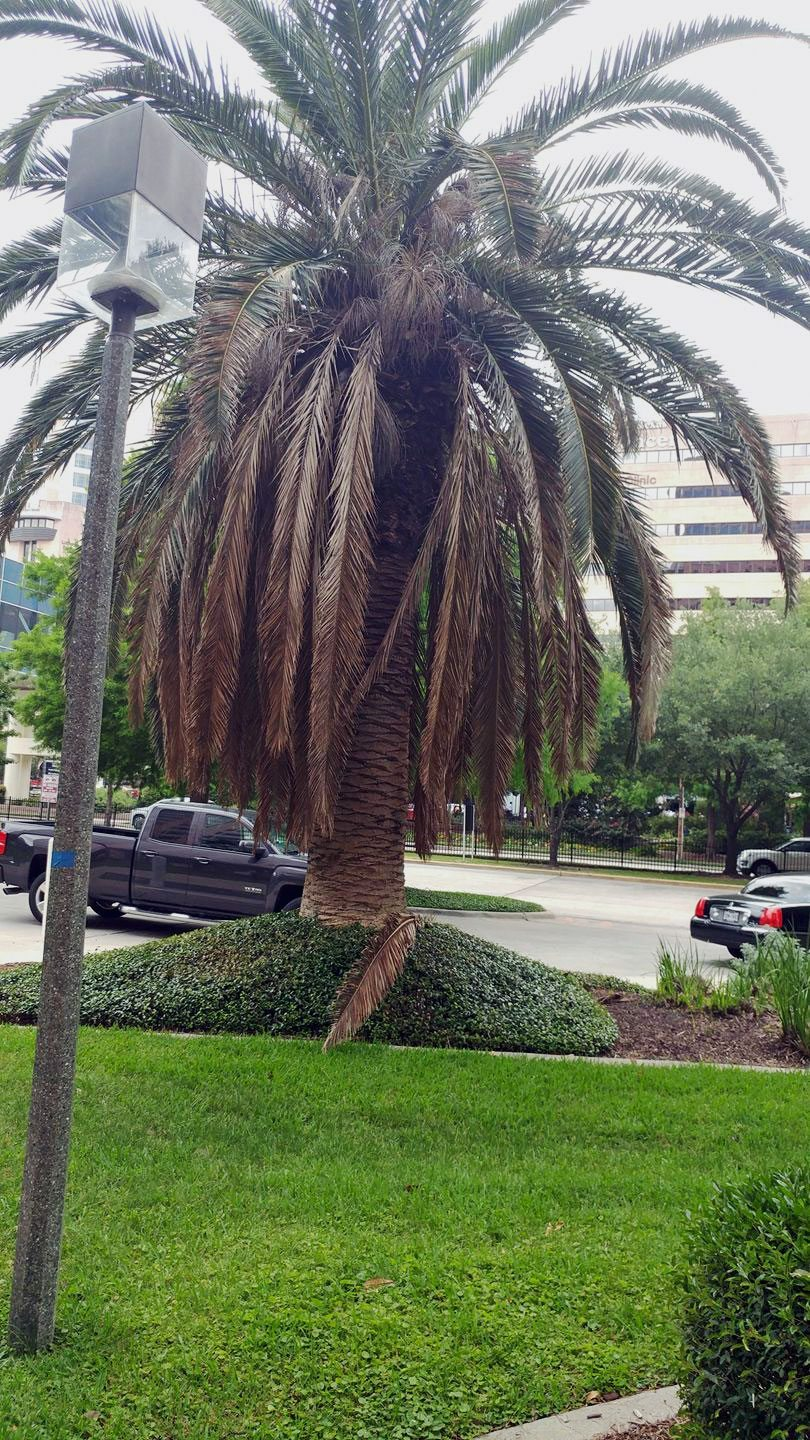 No Fronds On Palm Tree What To Do About Palm Tree Fronds Falling Off