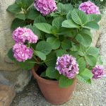 A beautiful pot of pink hydrangeas sit beside a doorstep.