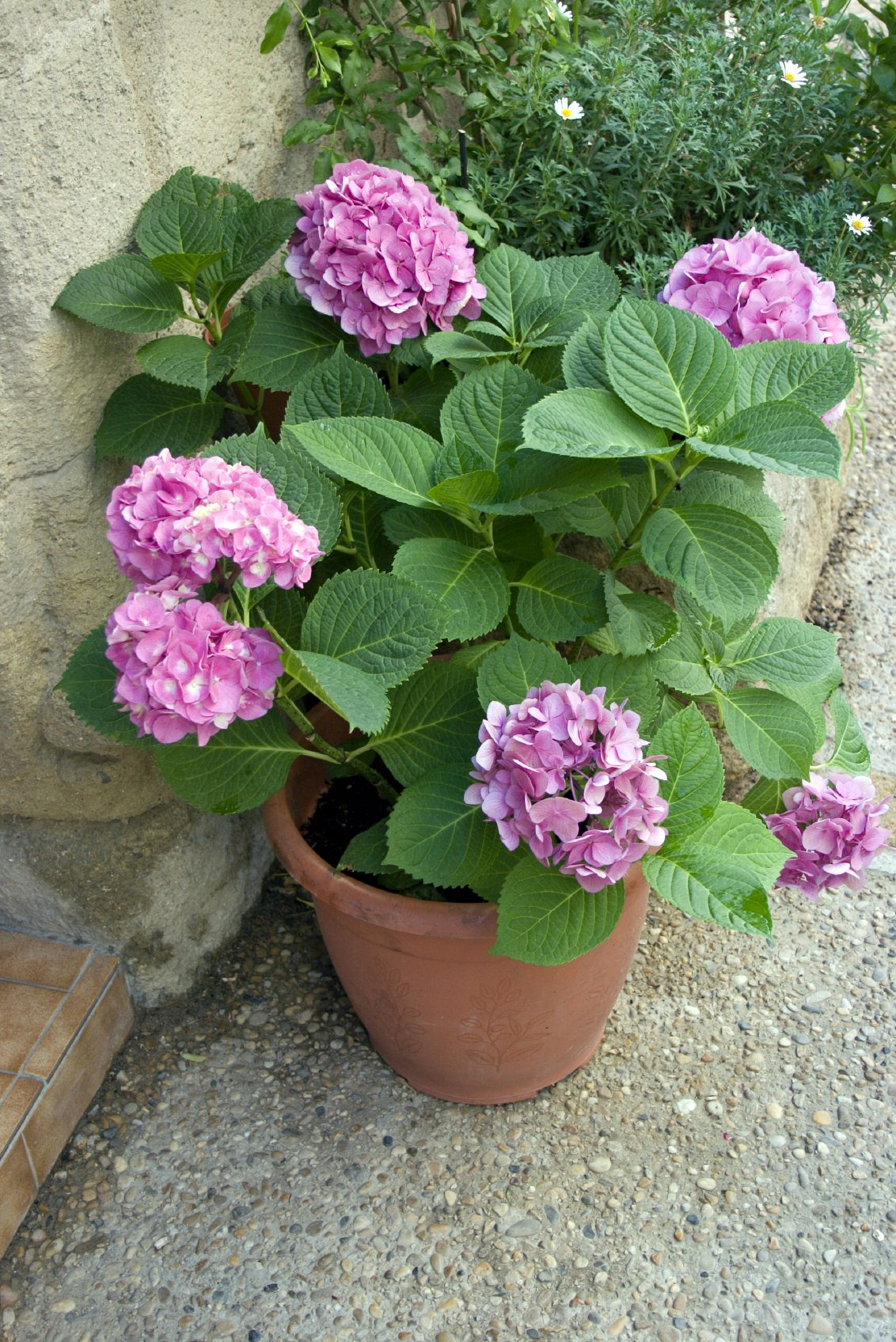 can hydrangeas grow in pots learn about container grown hydrangea plants