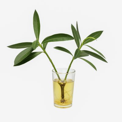 Growing Oleander From Cuttings How To Propagate