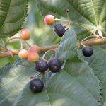 sherbet berries