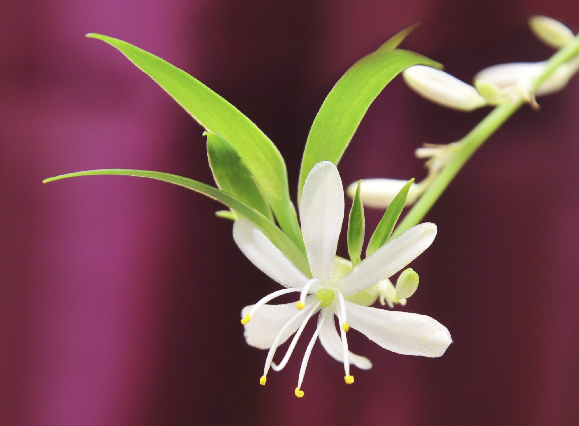 Spider Plant Flowering – Learn About Flowers Spider Plants