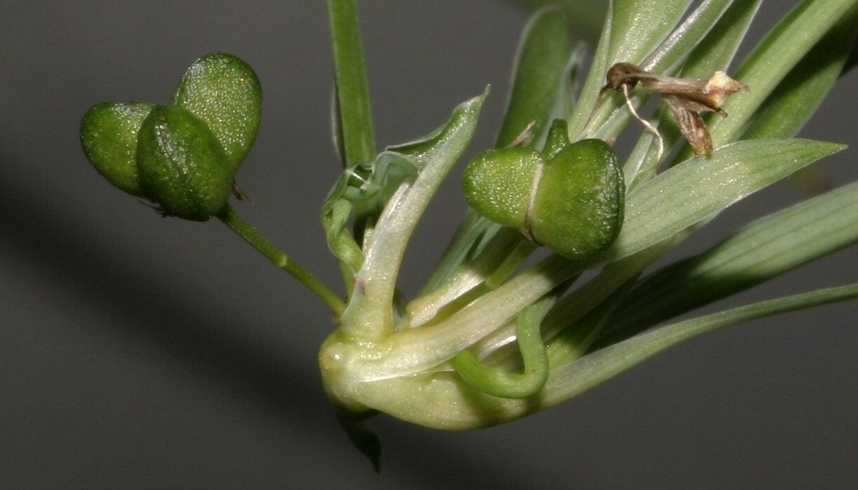 spider plant germination tips on growing spider plants. Black Bedroom Furniture Sets. Home Design Ideas