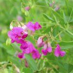 Sweet pea(Lathyrus odoratus) flowers in garden
