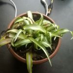 yellowing-spider-plant---scottedwardkelly-