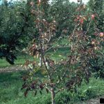 apple root rot
