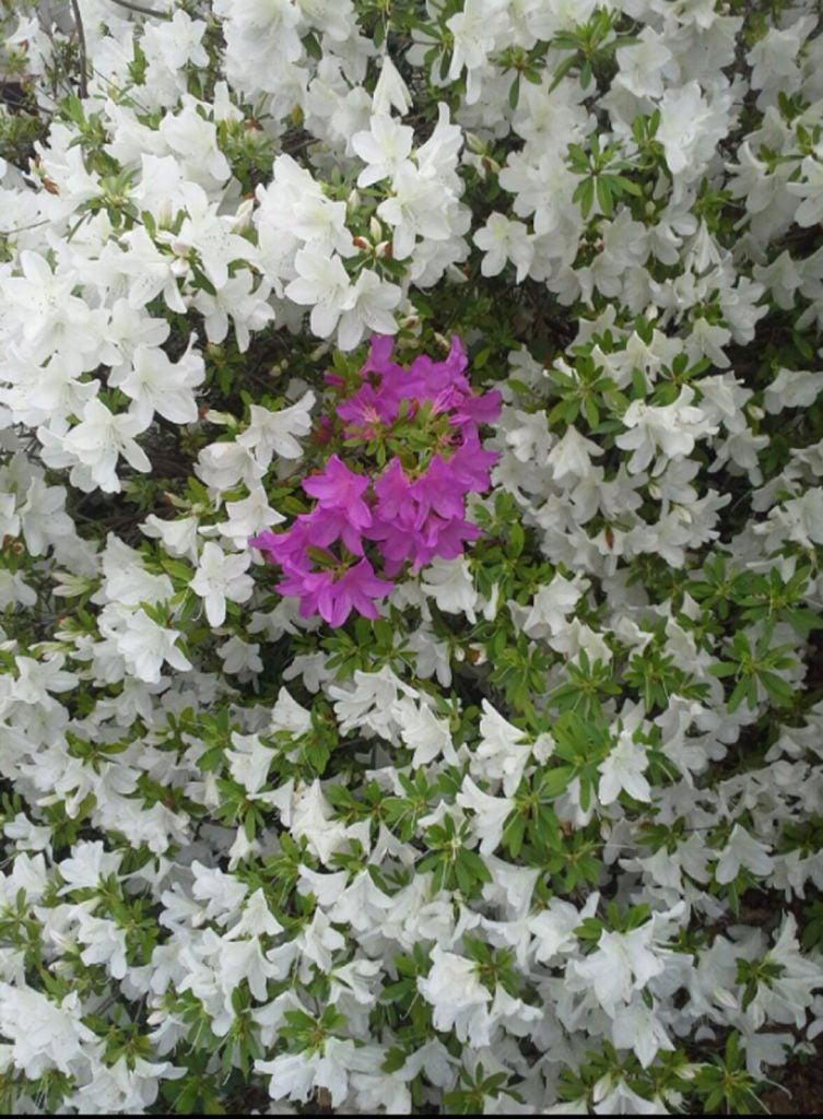 Sporting of azalea blooms learn about different colored azalea blooms mightylinksfo
