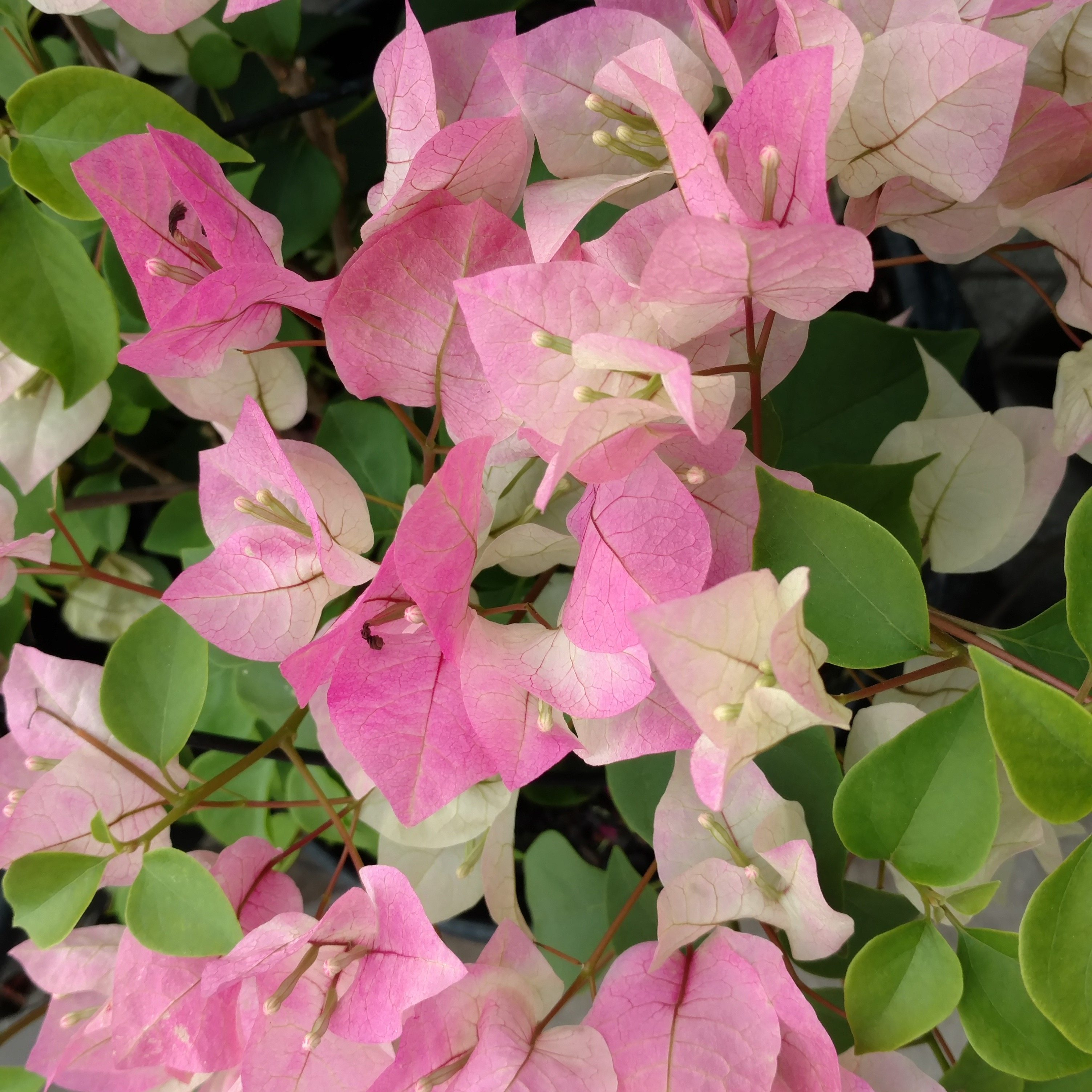 Caring For Bougainvillea Plants: Tips On Growing ...