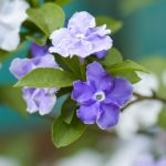 Closeup of violet brunfelsia jasmine flower