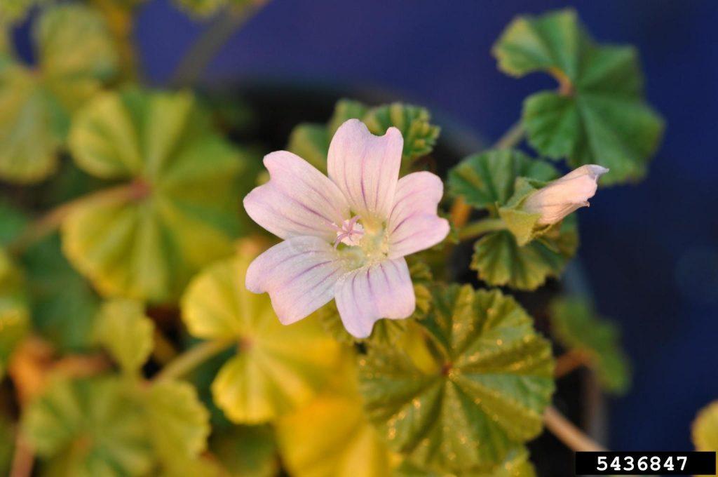 common mallow flower