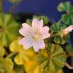 how to get rid of mallow weed