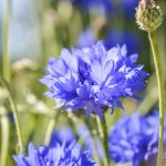 Centaurea - knapweed - blue cornflower close up