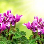 pink flower cyclamen on green natural background