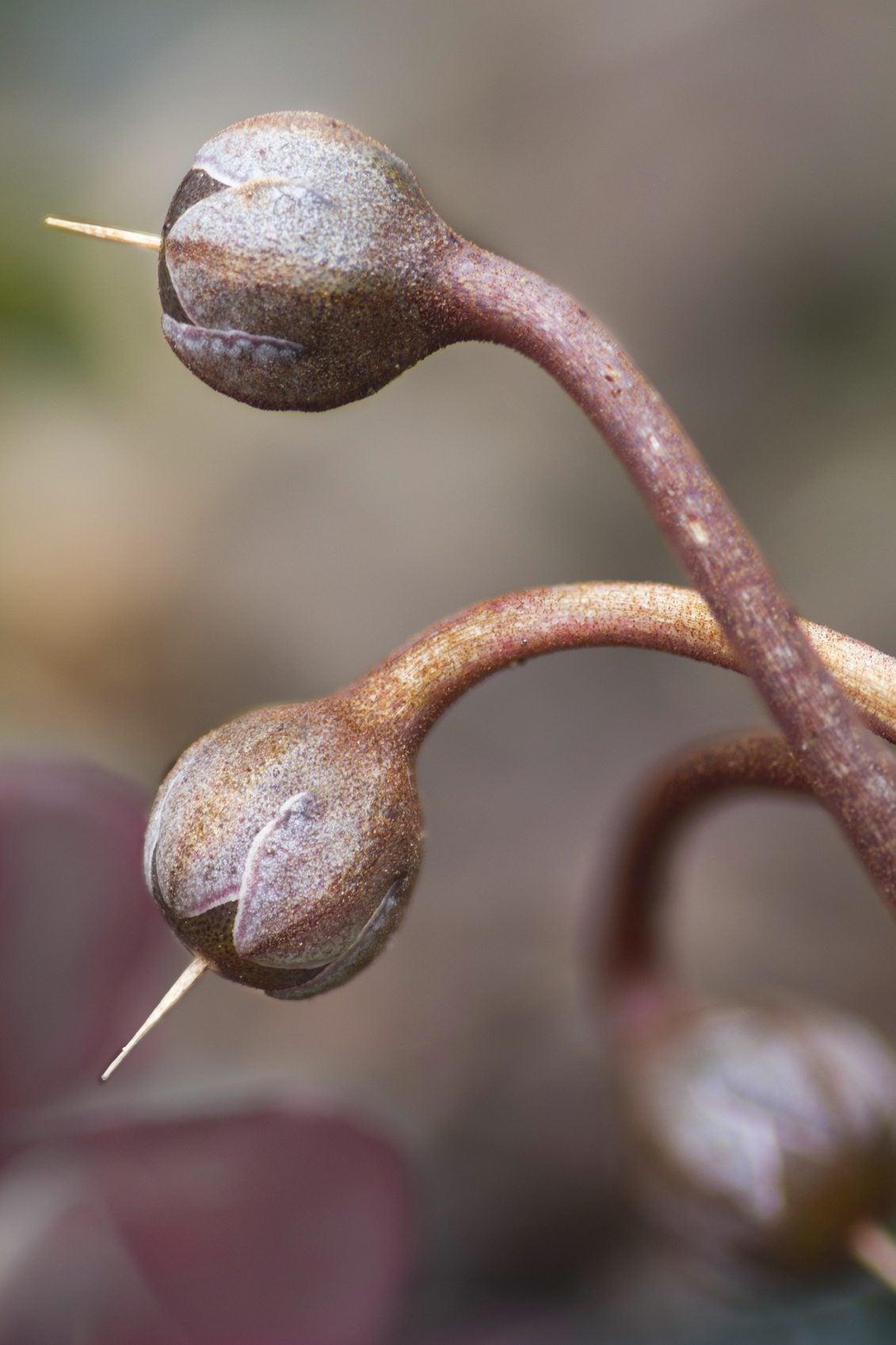 Cyclamen rohlfsianum 10 SEEDS caudiciform