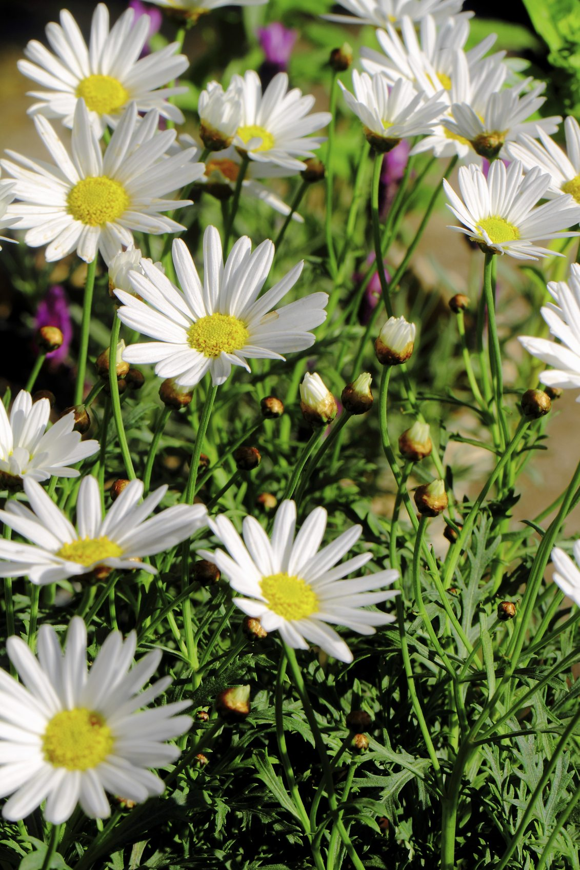 Can Shasta Daisies Grow In Pots How To Grow Shasta Daisies In Containers