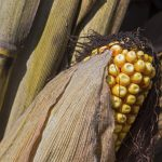 Yellow field corn or dent corn is show close with dry silk and husk and stalks behind.