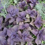 .close-up of the growing plants of violet basil and dill in the vegetable garden