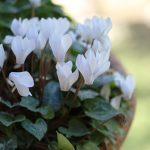 White Cyclamen in hanged pot.
