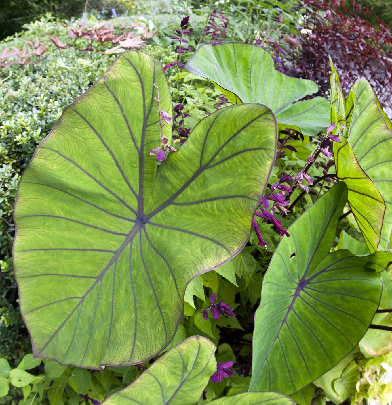 Types of elephant ear bulbs what are the different elephant ear plants for A gardener is planting two types of trees