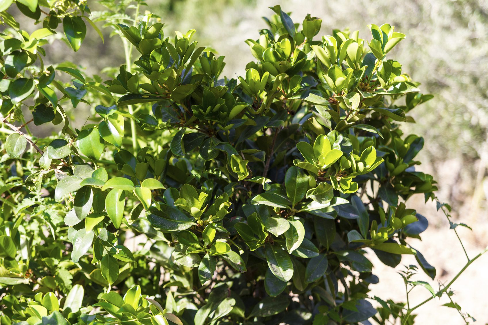 Eugenia Hedge Spacing Growing Eugenia Shrubs For Privacy Hedge