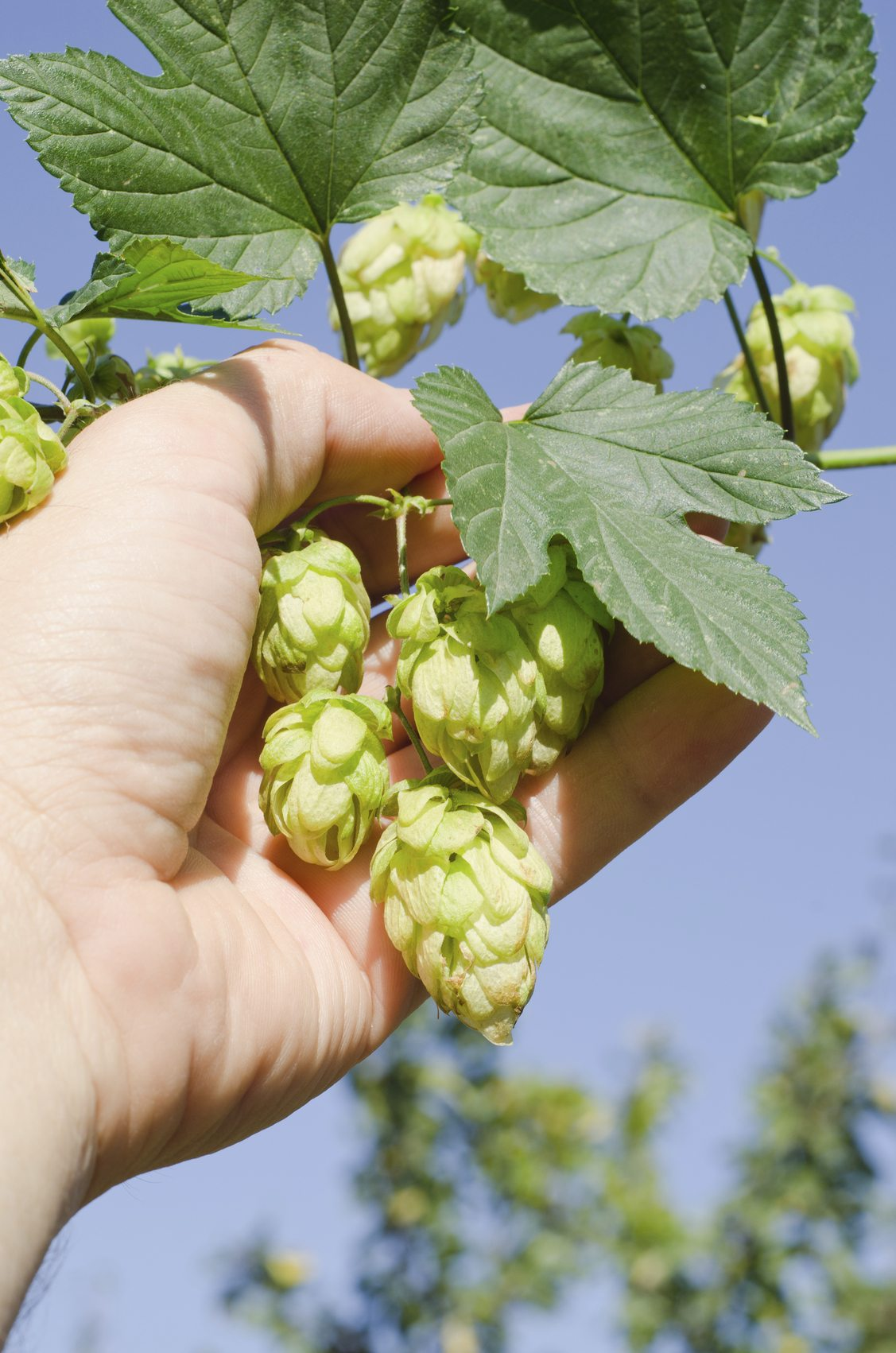 Hops Plant Harvesting  U2013 When And How To Harvest Hops In