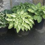 Hostas grow well in pots and this helps reduce slug damage. They are herbaceous perennial plants which grow from rhizomes and come in a variety of sizes with attractive foliage.