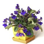African violet flowers.