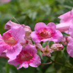 pink trumpet vine
