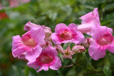 Podranea Queen Of Sheba – Growing Pink Trumpet Vines In The Garden