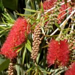 Flower of the Bottlebrush Plant aka Callistemon rugulosus