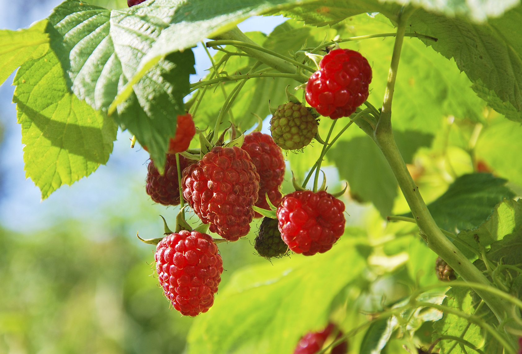 How to Harvest Raspberries