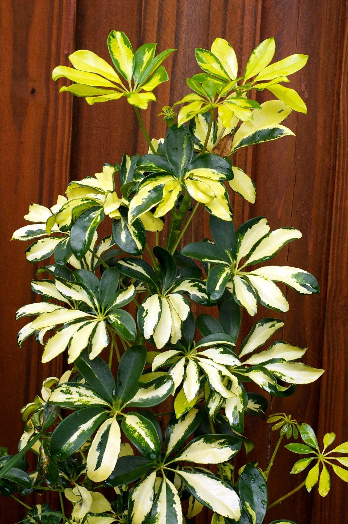 Providing Tree And Plant Care: Trimming Schefflera Houseplants