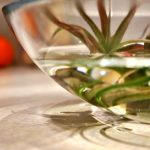 Tillandsia (air plants) soaking in a clear glass bowl of water on the counter, with a tomato in the background.