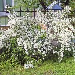 White Spirea Flowers On Bush At Spring
